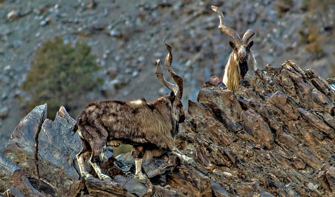 Markhor trophy hunting permits suffer markdowns