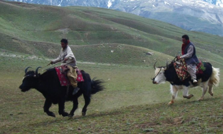 Yaks a source of livelihood for many in Chitral