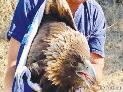Rescued golden eagle dies